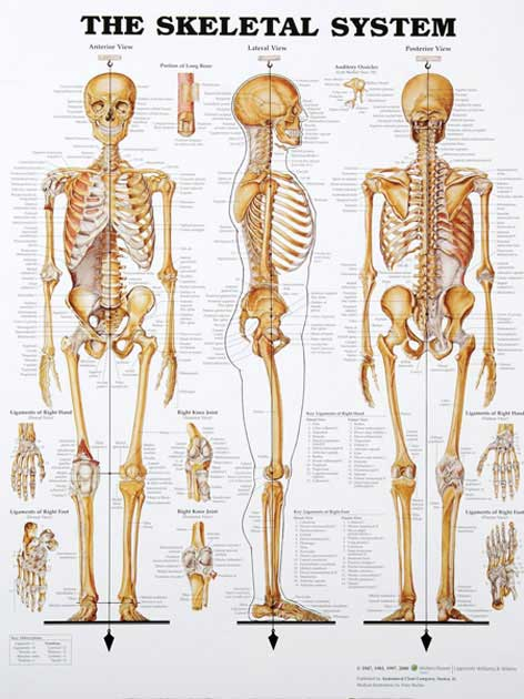 Related pictures skeletal system labeled skeletal system